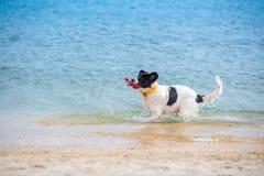 Landseer psa szczeniak Zdjęcie Royalty Free