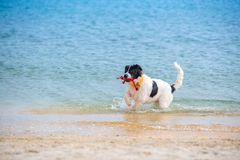 Landseer psa szczeniak Zdjęcia Stock