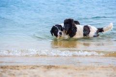 Landseer psa szczeniak Zdjęcia Royalty Free