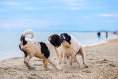 Landseer psa szczeniak Obrazy Royalty Free
