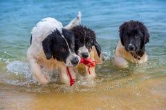 Landseer psa szczeniak Obraz Royalty Free