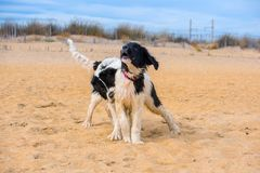 Landseer psa szczeniak Obrazy Stock