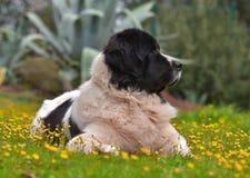 Landseer psi czysty traken Zdjęcie Stock