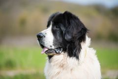 Landseer psi czysty traken bawić się zabawa uroczego szczeniaka zdjęcie royalty free