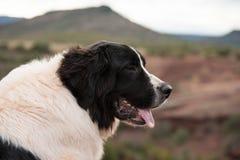 Landseer psi czysty traken w białym studiu zdjęcie royalty free