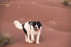 Landseer psi czysty traken w białym studiu Obraz Royalty Free