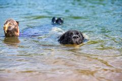 Landseer psi czysty traken w wodnym szkoleniu obrazy stock
