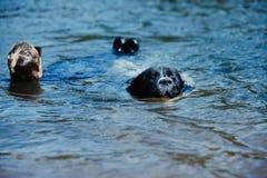 Landseer psi czysty traken w wodnym szkoleniu zdjęcie stock