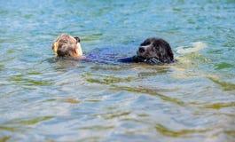 Landseer psi czysty traken w wodnym szkoleniu zdjęcia stock