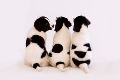 Landseer Puppies. Cute Landseer puppies and one with the marks of a clown face Royalty Free Stock Images