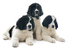 Landseer puppies Royalty Free Stock Photography