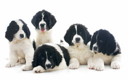 Landseer puppies Royalty Free Stock Image