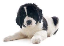 Landseer puppy Stock Photo