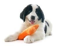 Landseer puppy Royalty Free Stock Image
