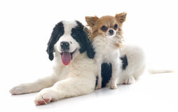 Landseer puppy and chihuahua Royalty Free Stock Images