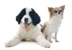 Landseer puppy and chihuahua Royalty Free Stock Photography