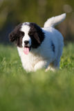 Landseer puppy Royalty Free Stock Images
