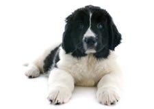 Landseer puppy Stock Photos