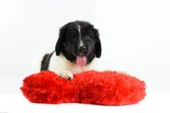 Landseer romántico del valentin del st del amor del perro del newfounland del neuve de Terre Foto de archivo libre de regalías