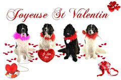 Landseer romantique de valentin de St d'amour de chien de newfounland de neuve de Terre Photo stock