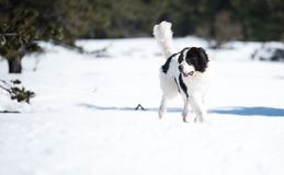 Landseer in the snow winter white playing pure breed Royalty Free Stock Photos