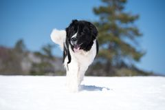 Landseer in the snow winter white playing pure breed stock photos