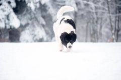 Landseer in the snow winter white playing pure breed Royalty Free Stock Photography