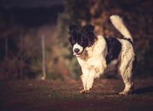 Landseer trakenu kobiety psi czysty szczeniak Zdjęcia Royalty Free