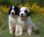 Landseer trakenu psi czysty szczeniak Fotografia Royalty Free