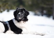 Landseer w śnieżnym zima bielu bawić się czystego trakenu obrazy stock