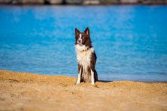 Landseer water work rescue dog male young puppy pure breed. Sea beautiful play stock photo