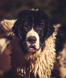 Landseer wodnej pracy ratuneku pies Zdjęcia Royalty Free