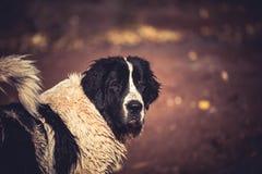 Landseer wodnej pracy ratuneku pies Zdjęcie Stock