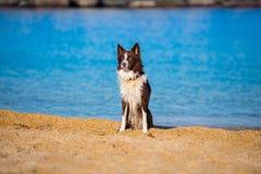 Landseer wodnej pracy ratuneku psa męskiego młodego szczeniaka czysty traken zdjęcie stock