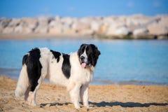Landseer wodnej pracy ratuneku psa męskiego młodego szczeniaka czysty traken Zdjęcie Royalty Free