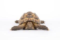 landsköldpadda Fotografering för Bildbyråer