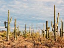 Landskap av öknen med Saguarokakturs tonad bild fotografering för bildbyråer