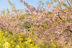 Landskap av den japanska våren med rosa Cherry Blossoms Fotografering för Bildbyråer