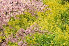 Landskap av den japanska våren med rosa Cherry Blossoms Royaltyfri Foto