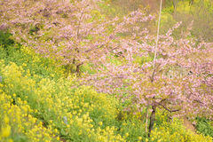 Landskap av den japanska våren med rosa Cherry Blossoms Arkivfoton