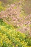 Landskap av den japanska våren med rosa Cherry Blossoms Royaltyfria Bilder