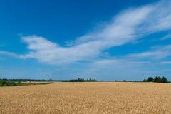 Landskap av den mogna cornfielden med blå himmel och whitespace för tex arkivbild