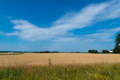 Landskap av den mogna cornfielden med blå himmel och whitespace för tex royaltyfria bilder