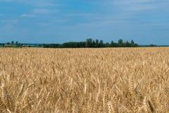 Landskap av den mogna cornfielden med blå himmel och whitespace för tex royaltyfri fotografi