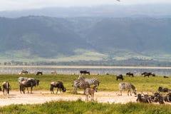 Landskap av den NgoroNgoro krater Flockar av herbivor Tanzania Afrika fotografering för bildbyråer