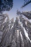 Landskap av den snöig täta skogen i berg Sikt av snö-täckte högväxta granar och oframkomliga snödrivor royaltyfri bild