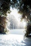 Landskap av den soliga dagen på vintergranskogen Royaltyfri Bild