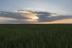 Landskap av det gröna vetefältet under scenisk solnedgång eller soluppgång Arkivfoto