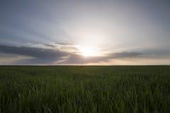 Landskap av det gröna vetefältet under scenisk solnedgång eller soluppgång Arkivfoton