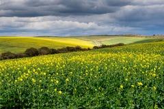 Landskap av det gula fältet och stormig himmel Royaltyfri Foto